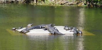 Alligators in Georgia